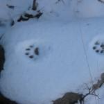 Luchs-Faehrte_im_Schnee